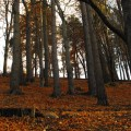 The woods above Innerleithen, Scottish Borders in Autumn covered with a layer of fallen leaves